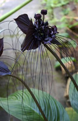 A Black Orchid