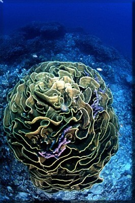 A Large Brain Coral