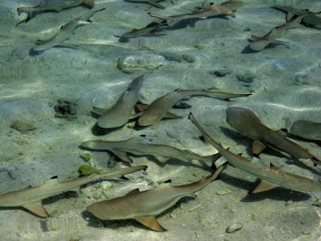 Baby Black Tip sharks at Lankayan Island