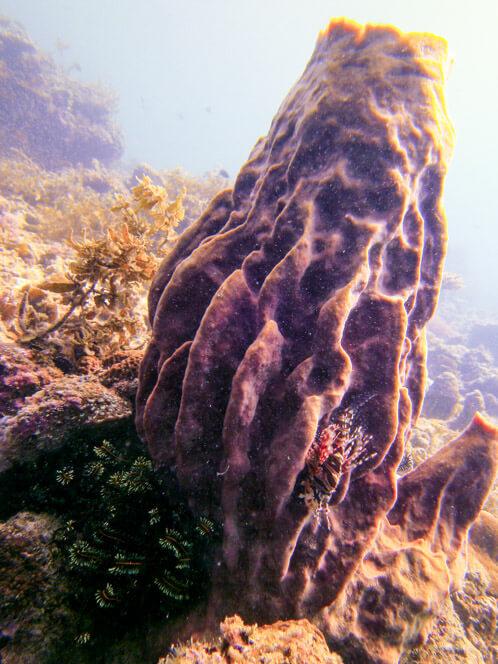 Baby Lionfish on a sponge vase at Anjung Gaya