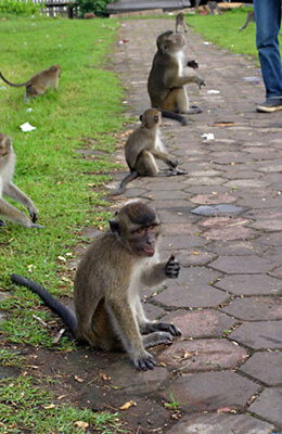 Monkeys at the Chinese Temple