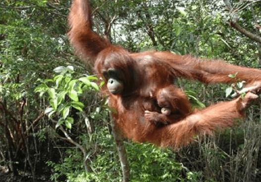 Orang-utans in Kutai National Park 1