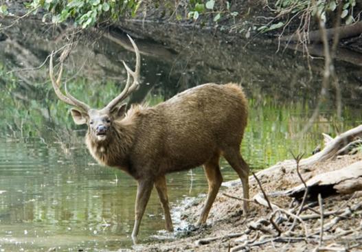 Sambar Deer are found in Kutai National Park