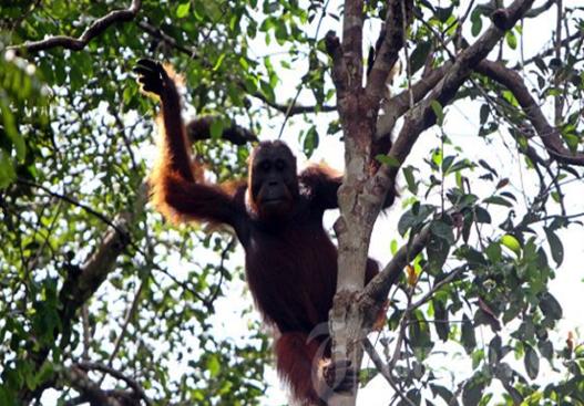 Wild Orang-utan can are found in Kutai National Park