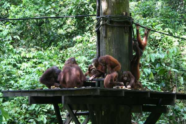 Young Orang-utans on the feeding platform